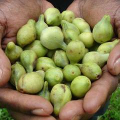 Kakadu plums